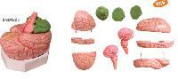 Mô Hình Giải Phẫu Não